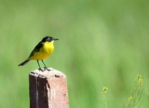Codobatură galbenă. Foto: Emil Todorov